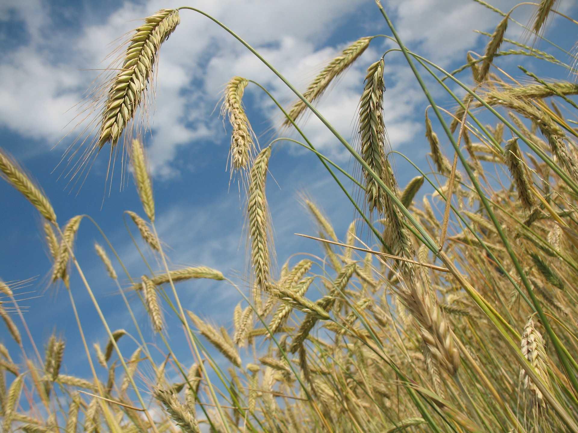 Колосья пшеницы [(cc) R0bin]