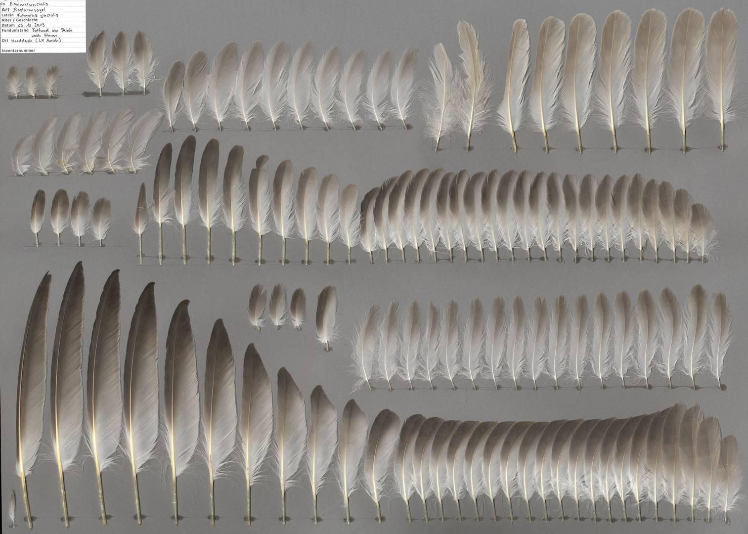 Промытые перья глупыша — птицы из семейства буревестниковых (Фото — featherbase.info)