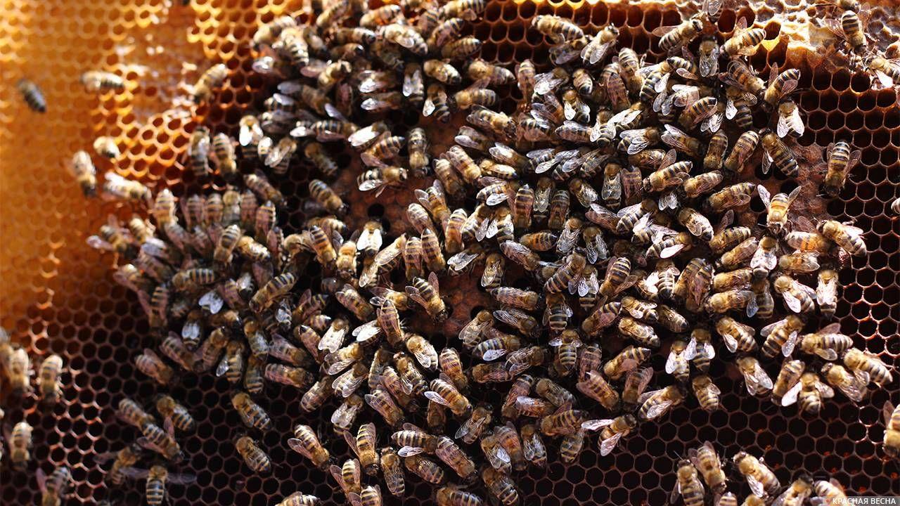 Пчелы чуть несорвали матч чемпионата Бразилии