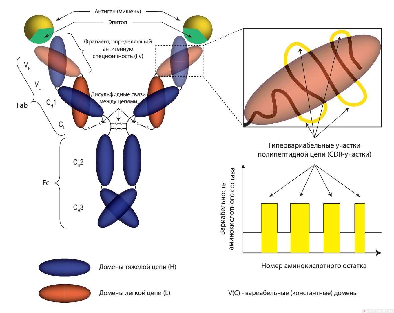 Структура антитела