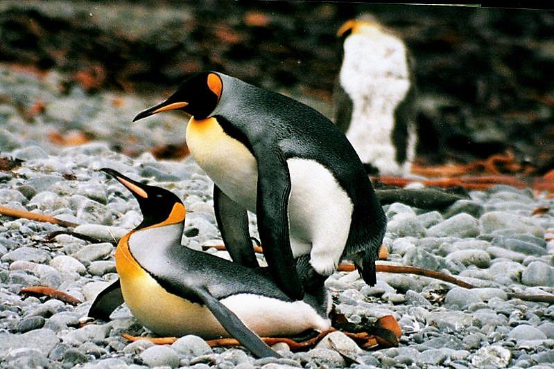 Пингвинов тоже нет! автор Mbz1 лицензия сс1.2