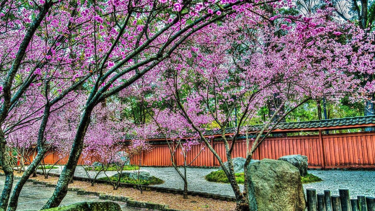 Цветущие вишневые деревья в японском саду