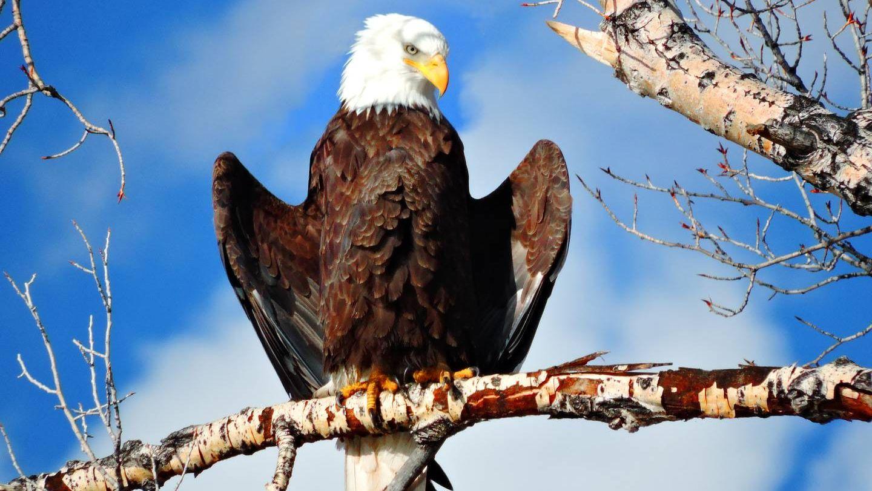 гости устраивают картинка орел сидит голубя