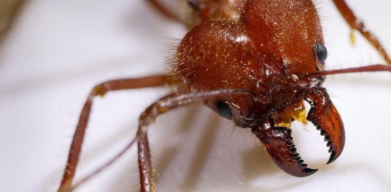 Крупный план головы муравья-листореза