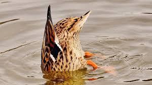 Утка в мутной воде