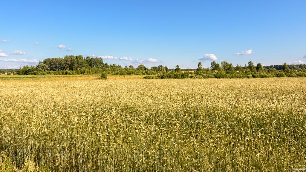 Рекордный урожай пшеницы в РФ  выдавливает срынка американских фермеров