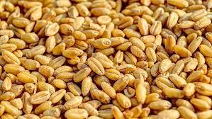 ОЗК покупает 200 тыс. тонн зерна вСибири для экспорта через Новороссийск