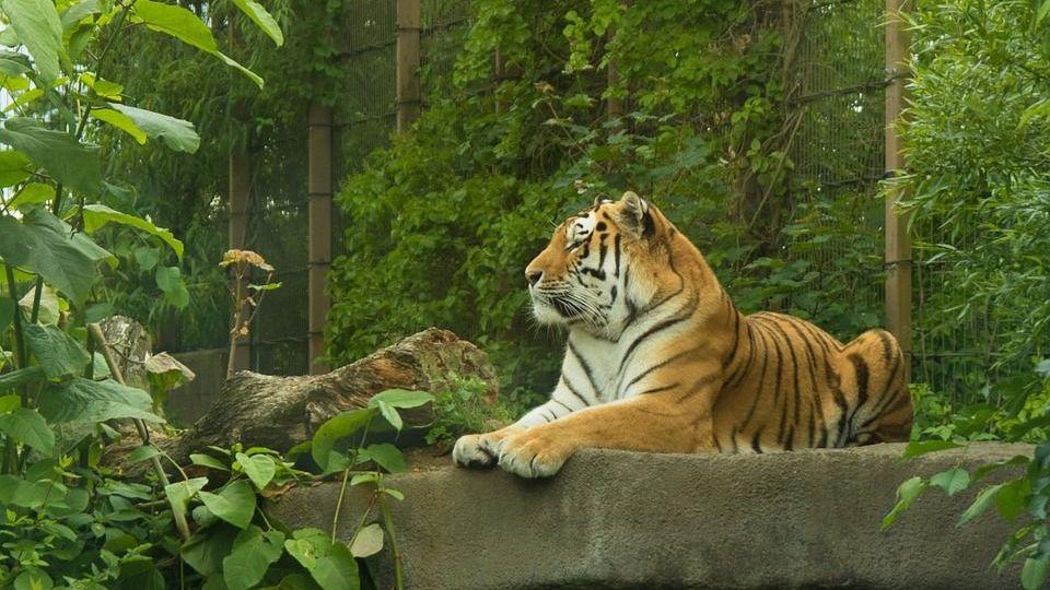 Хабаровские тигры-людоеды отправятся за решётку | 540x960