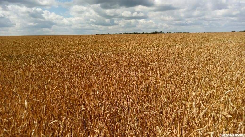 Пшеница. Хороший урожай