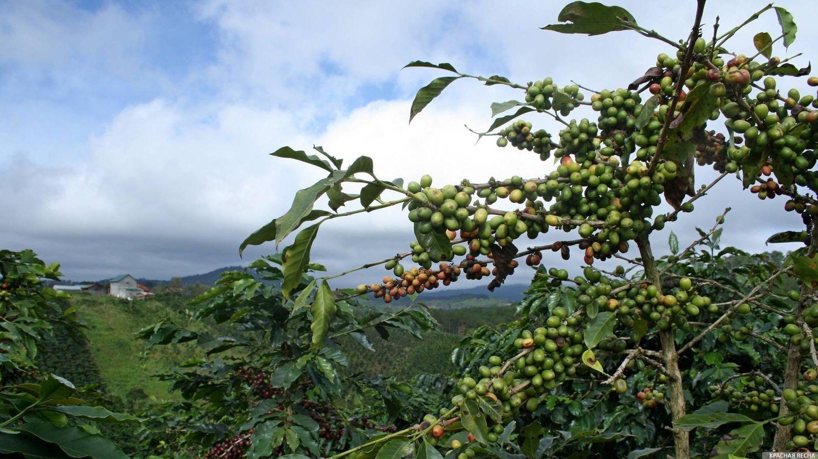 Кофейное дерево. Вьетнам