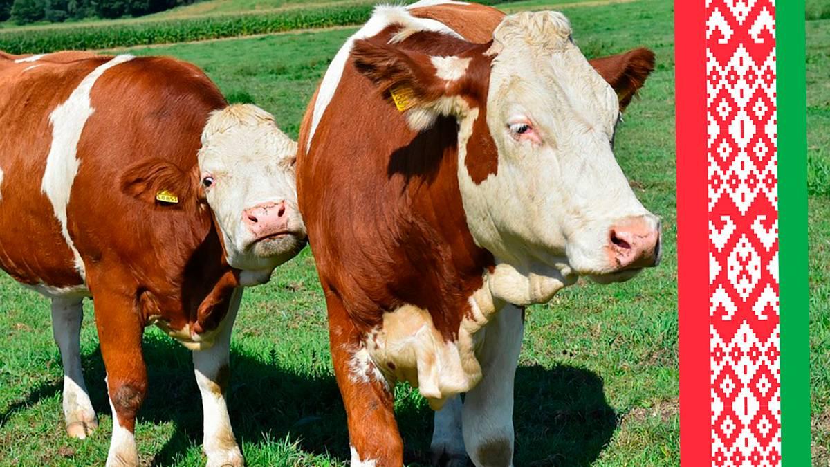 Коровы.Говядина