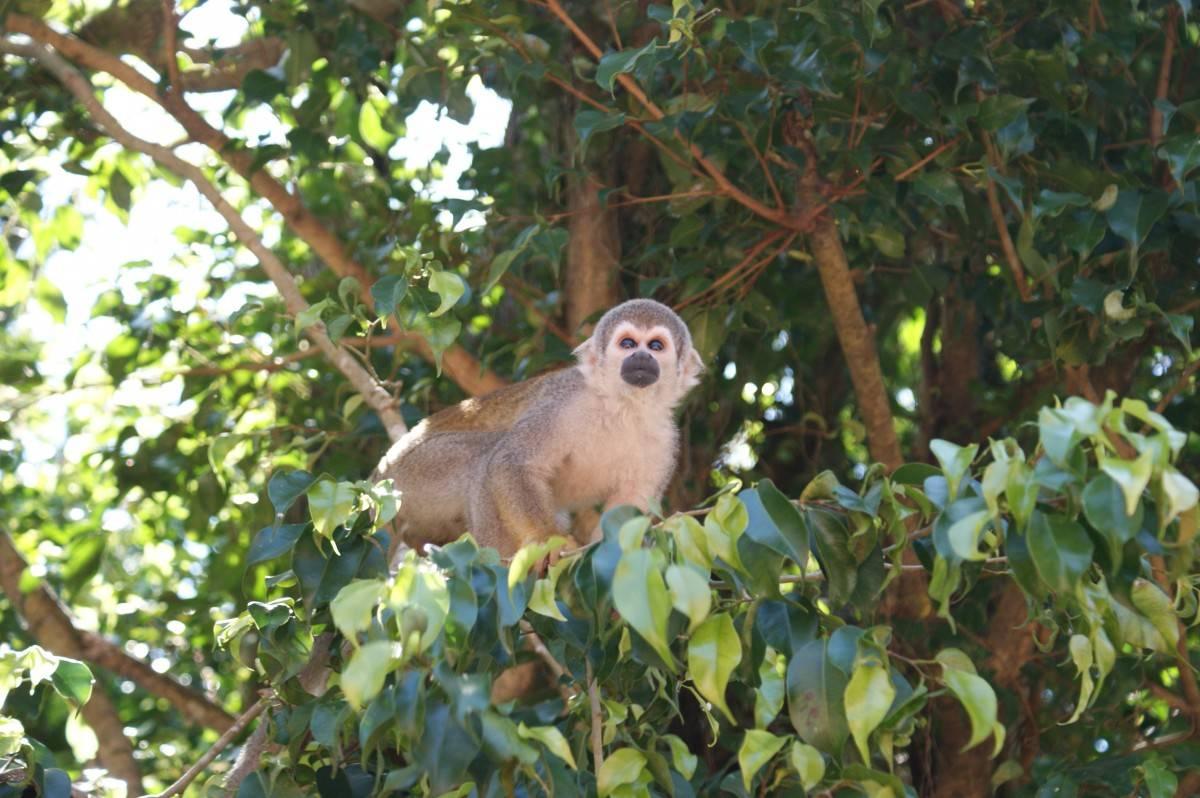 Паукообразная обезьяна на дереве смотрит в даль.