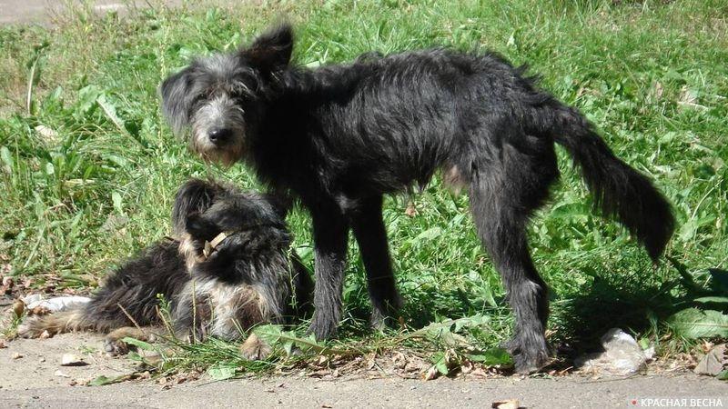 Дворовые собаки