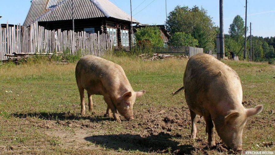 Свиньи в деревне