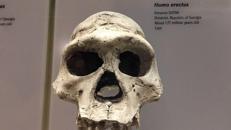 Череп homo erectus
