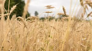 Колосья пшеницы Грук Андрей