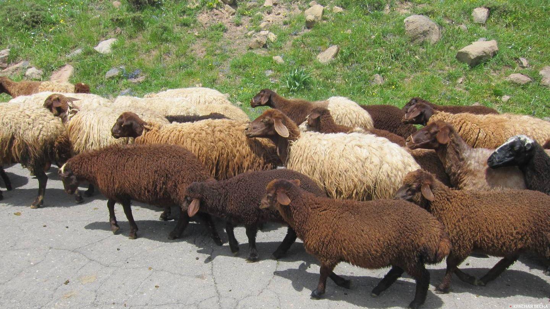 Овцы. Армения