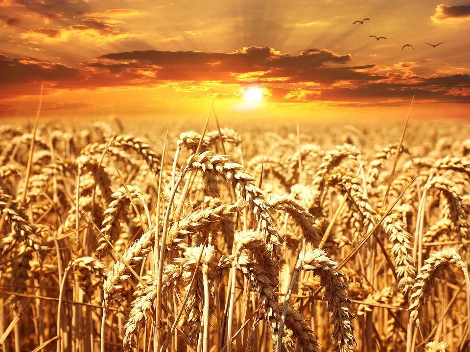 Пшеница, автор: Pezibear, лицензия: CC0 1.0