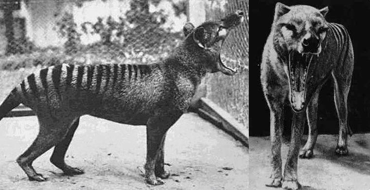 Сумчатые (полосатые) волки