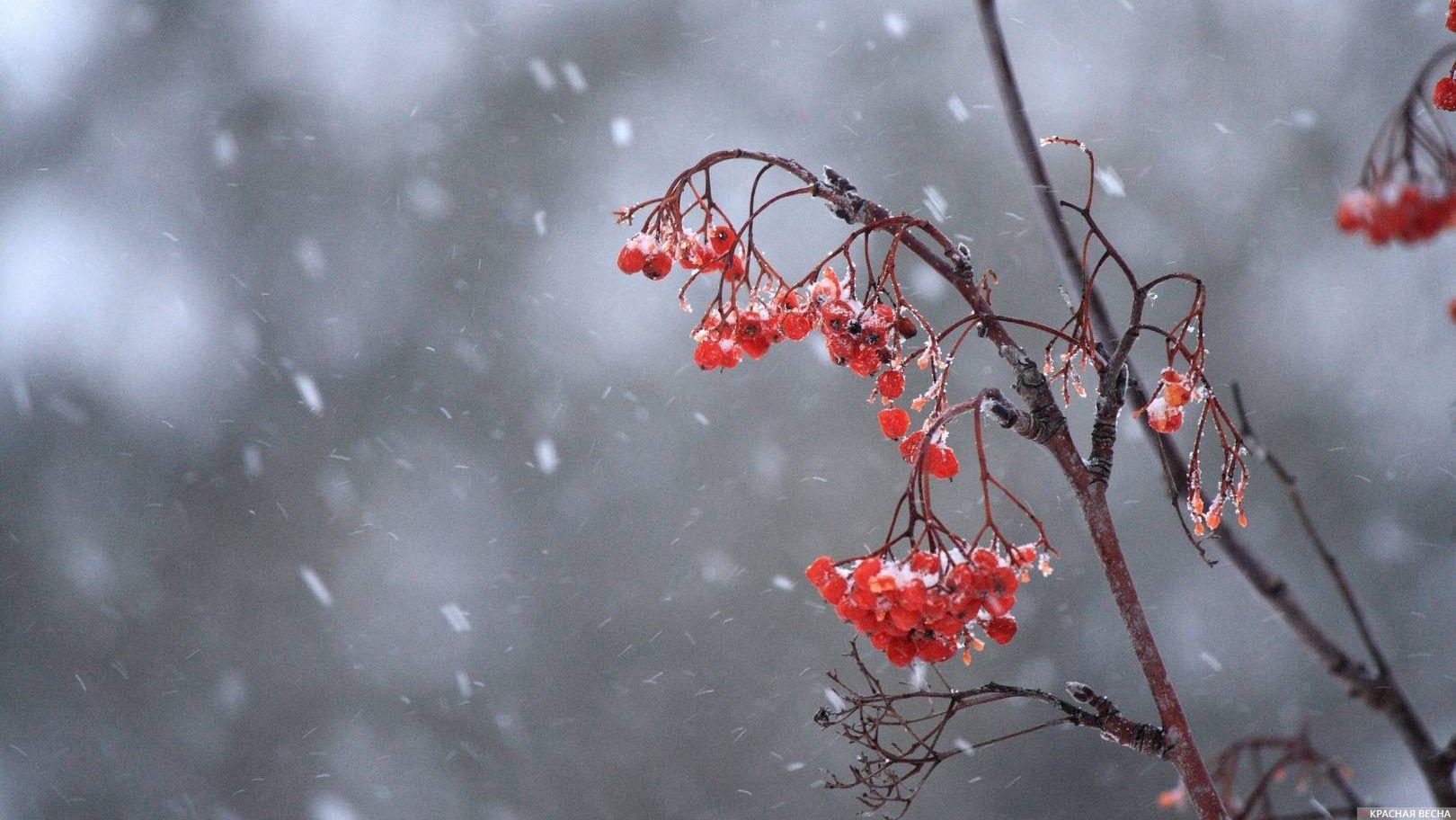 Зимняя рябиня