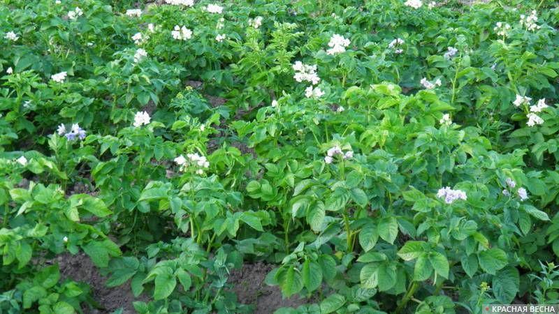Цветение картофеля. Россия