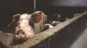 ВМорозовском районе зафиксировали падеж свиней
