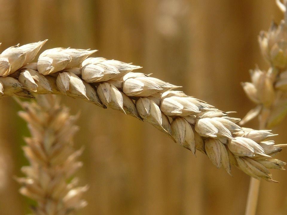 Пшеница, автор: Hans, лицензия: CC0 1.0
