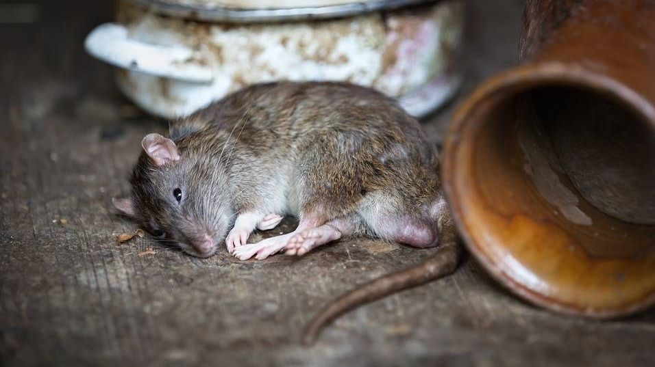 Больная крыса