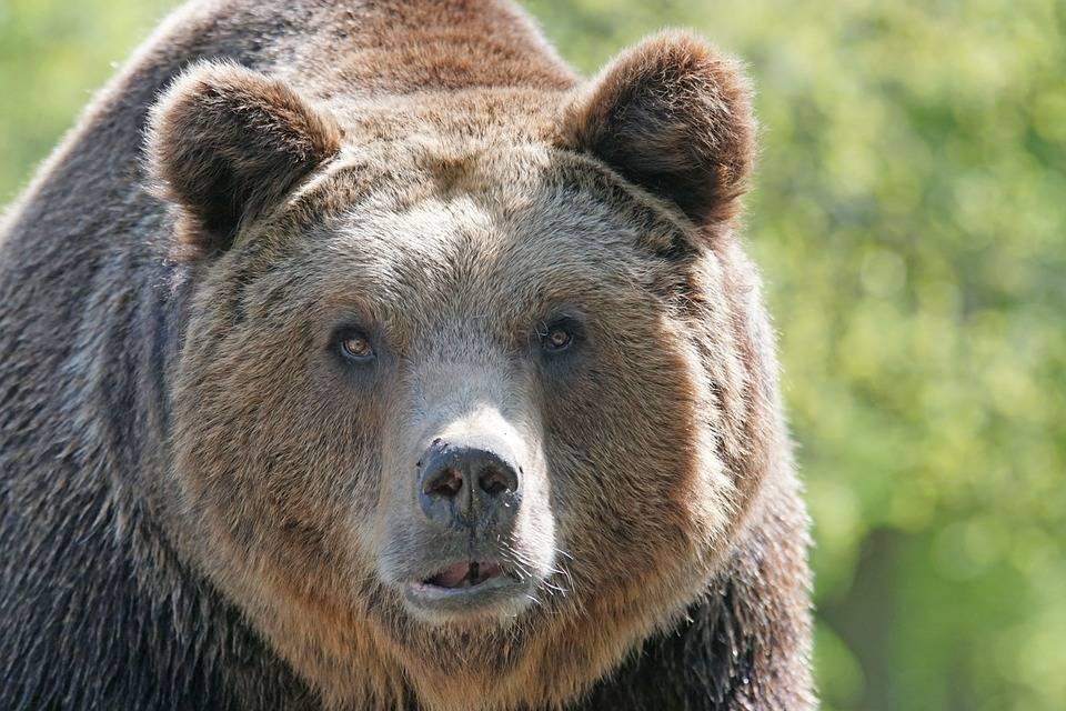 Медведь, готовый напасть