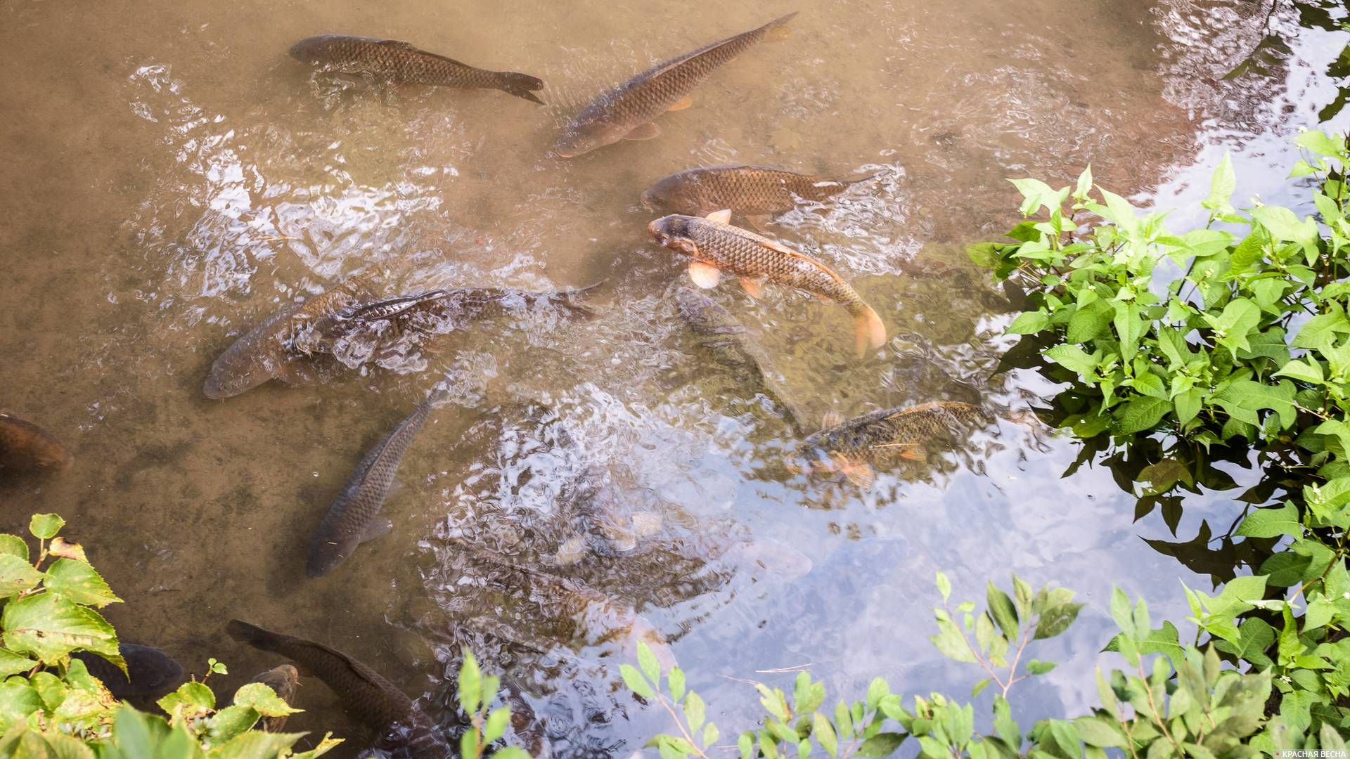 Рыба в мутной воде. Пруд в саду, Никко, Япония 31.10.2016