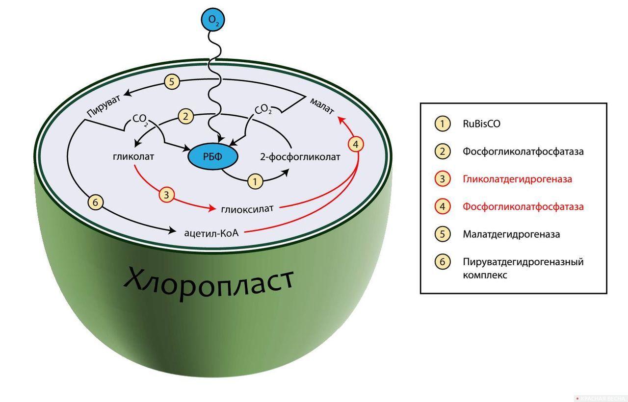 Альтернативная схема фотодыхания у растений табака. Черным и красным цветами обозначены «родные» и искусственно привнесенные ферменты, соответственно