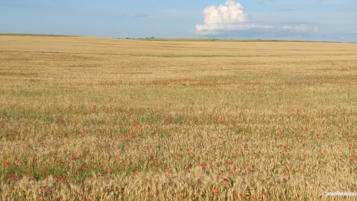 Пшеничное поле [Ляшко Юрий (с) ИА Красная Весна]