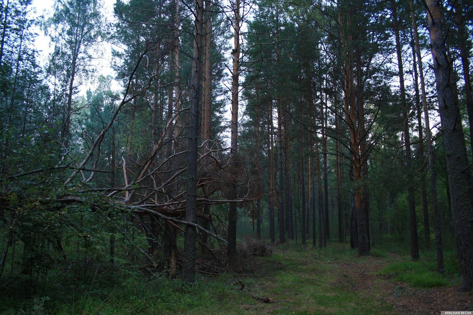 Прекрасные сосновые леса на севере Омской области