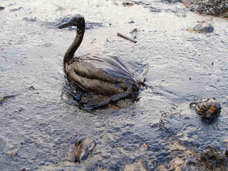 Птица, пострадавшая от нефтяного загрязнения