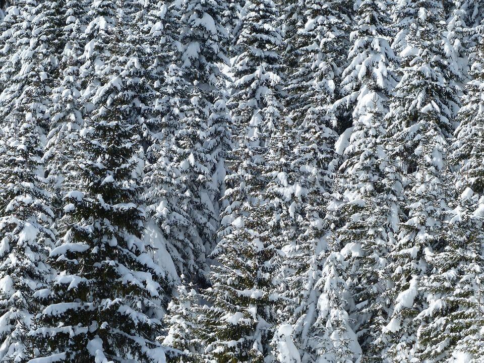 Зимний еловый лем