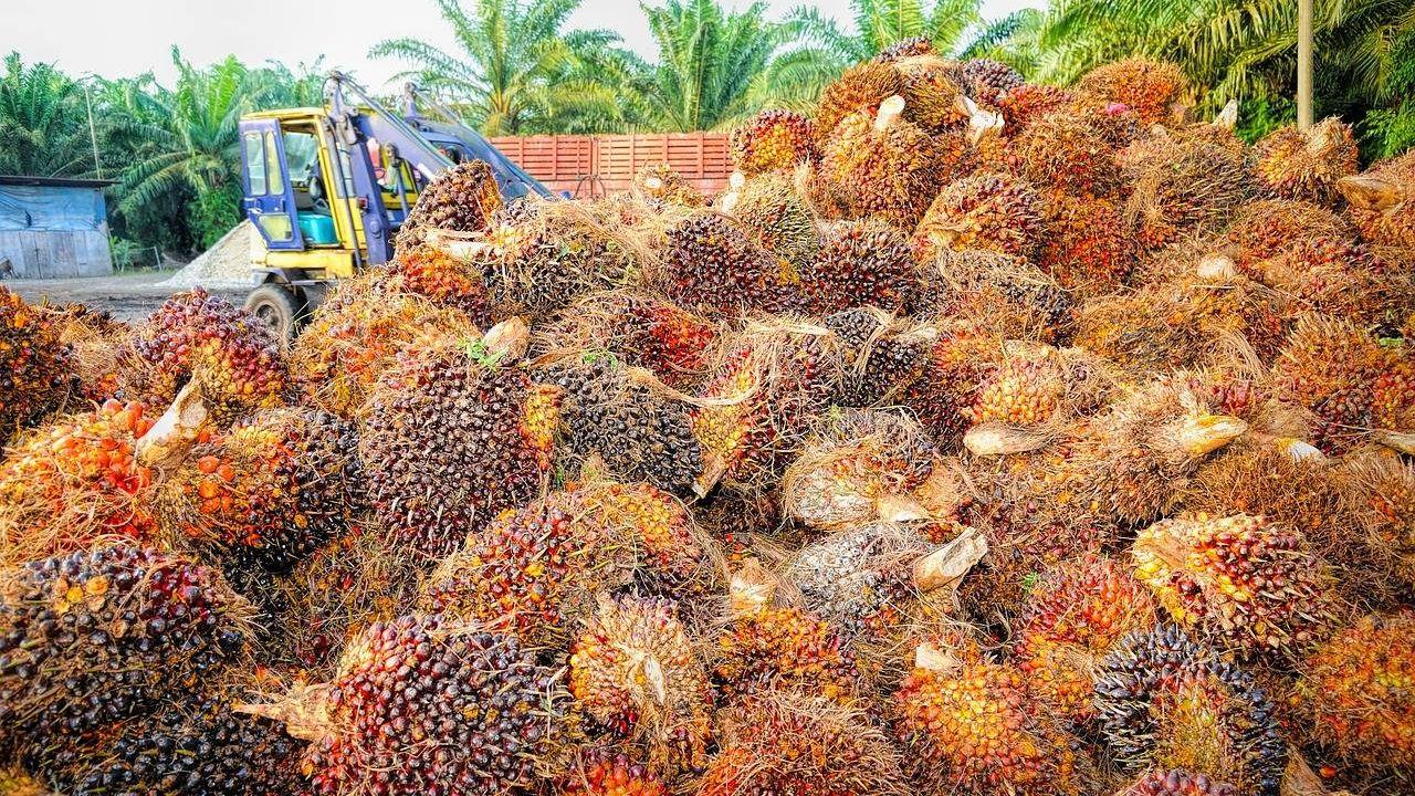 Сырье для пальмового масла