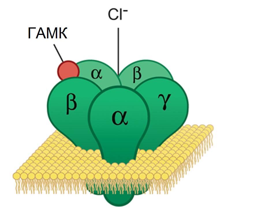 Структура ГАМК-рецептора в синаптической мембране