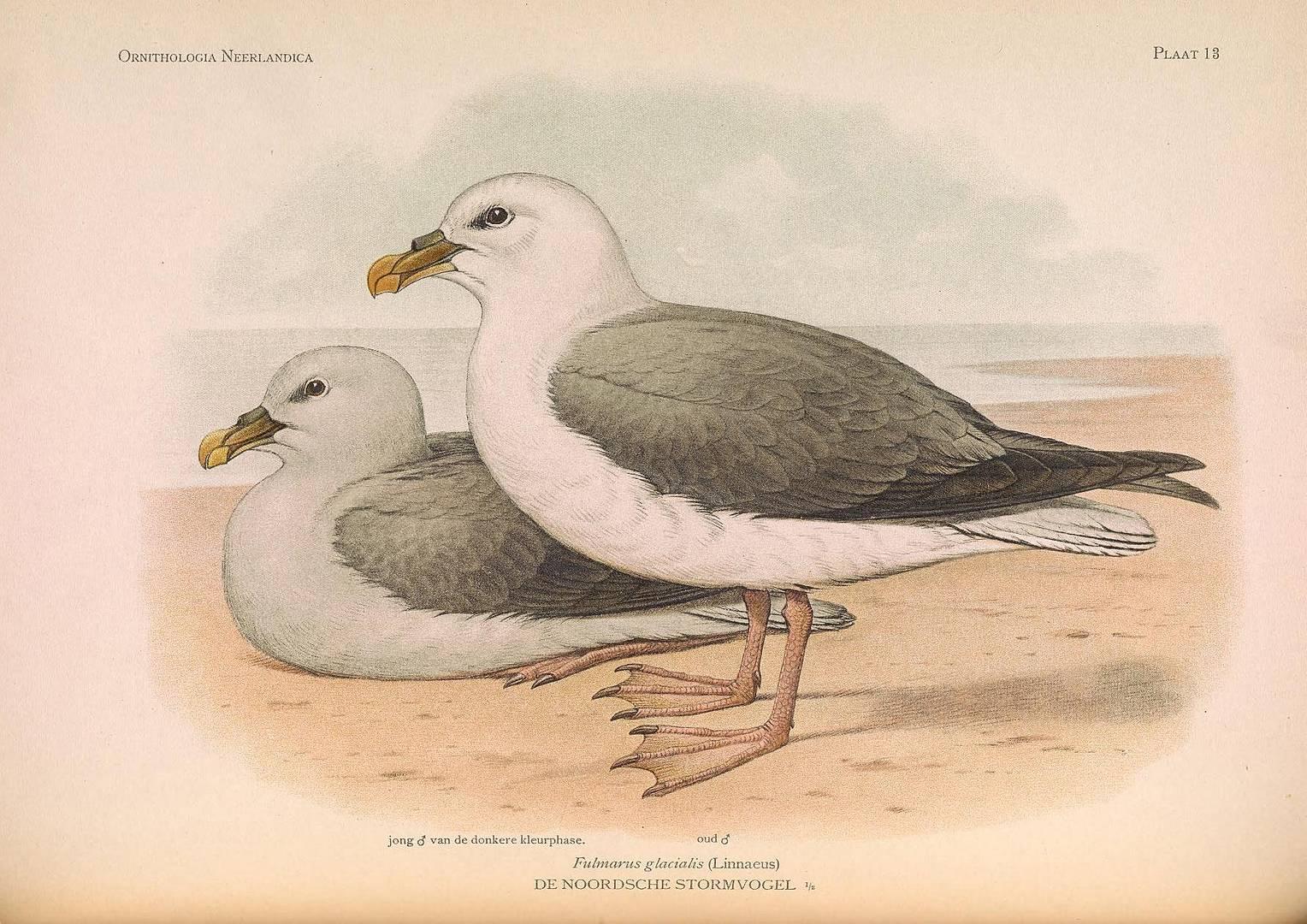 Глупыш — вид птиц из семейства буревестниковых. 1922